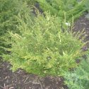 Juniperus chinensis japónico albo-variegata