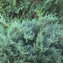 Juniperus chinensis pfitzeriana glauca,