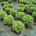 Juniperus chinensis pfitzeriana old gold
