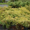 Juniperus communis depressa aurea (J. canariensis)