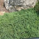 Juniperus horizontalis prostrata nana (J. procumben)