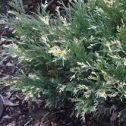 Juniperus sabina tamariscifolia variegata alba,