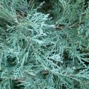 Juniperus scopulorum blue heaven