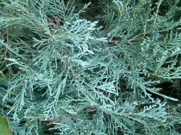 Juniperus scopulorum blue heaven