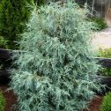 Juniperus scopulorum springbank