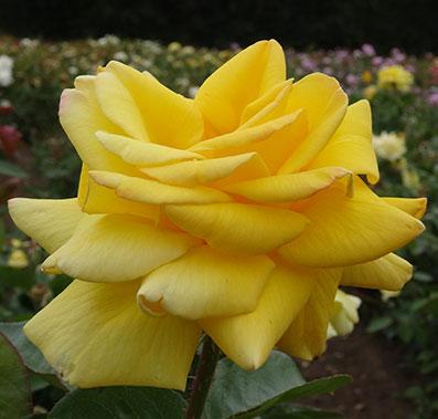 Kabuki--Golden-Prince--jardines--patagonia