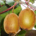 Kiwi---Actinidia--chinensis,-femenino,