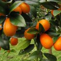 Kumquats-Nagami--Fortunella-margarita-jardines-de-la-patagonia-viveor