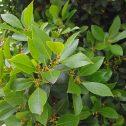 Laurus nobilis (Laurel comestible) jardines-patagonia-vivero