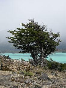 Lenga-Nothofagus-pumilio-jardines-patagonia-vivero-meliquina-patagonica-nativas