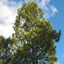 Lomatia-hirsuta.-Radal-jardines-patagonia-vivero-argentina-forestacion