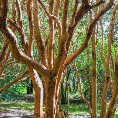 Luma-apiculata.-Arrayan-jardines-patagonia-vivero-forestacion-nativa-argentina