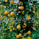 Mandarino Citrus reticulata jardines patagonia