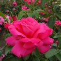 Maria-Callas--American-Beauty-patagonia