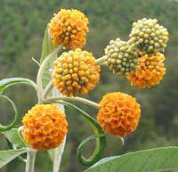 Panil-Budleia globosa-jardines-patagonia-vivero-meliquina
