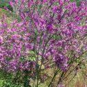 Polygala virgata, jardines-de-patagonia-meliquina