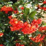 pyracantha-coccinea-crataegus-fruto-rojo