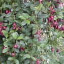 Syzygium paniculatum nana jardines patagonia