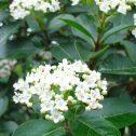 Viburnum-tinus-(Laurentino)-jardines-de-la-patagonia