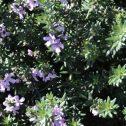 Westringia fruticosa, flor lila y flor blanca,