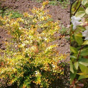 abelia grandiflora francis mason-jardines-patagonia-vivero-meliquina-forestacion
