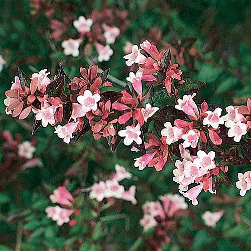 abelia-grandiflora-jardines-patagonia-vivero-diseno-jardines-forestacion-meliquina
