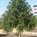 araucaria-Araucaria bidwillii-jardines-patagonia