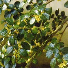 azara-microphylla-chin-chin-jardines-patagonia-vivero-meliquina