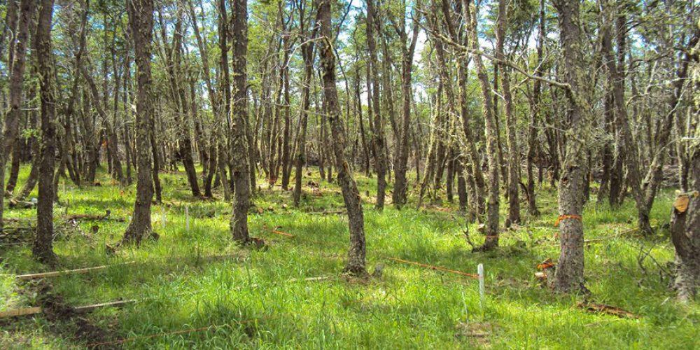 El Ñire, especie andina Patagonica