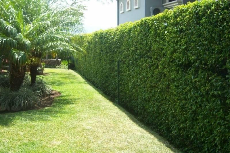 Cuales son las plantas ideales para cerco jardines de la for Arboles y plantas para jardin