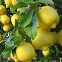 citrus limon jardines patagonia