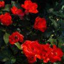 diablotin-jardines-rosales