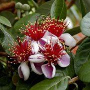 falso-guayabo-Feijoa sellowiana-jardines-patagonia-vivero