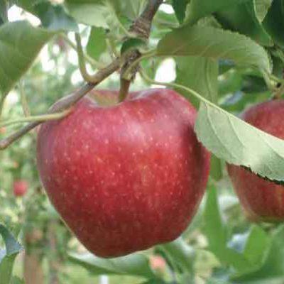 manzanos-brokkfield-vivero-jardines-de-la-patagonia-meliquina