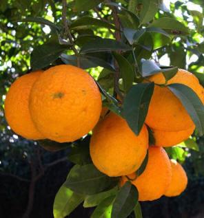 naranja-dulce-comun-jardines-patagonia-meliquina