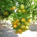 naranja-ombligona-jardines-patagonia