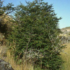 nire-Nothofagus-antarctica-nativas-jardines-patagonia-vivero-meliquina