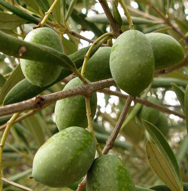 olivos-jardines-patagonia-vivero