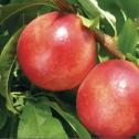 pelones Pelones - Prunus persica nectarina