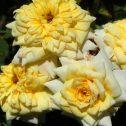 risen-shine-golden-sunblaze-jardines-patagonia