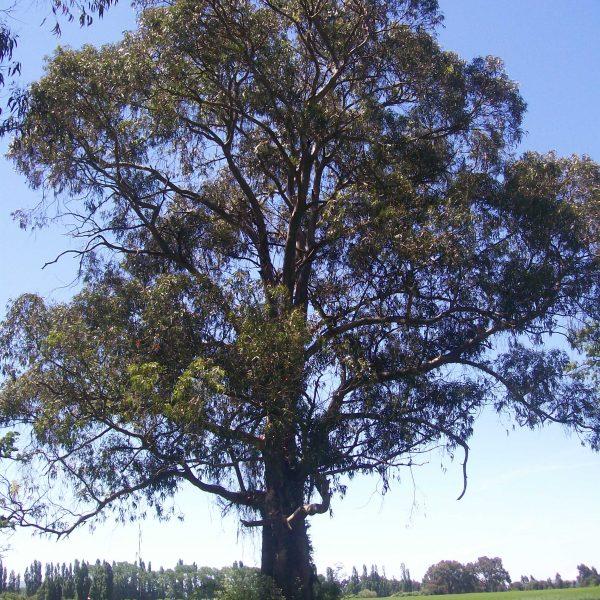 roble pellin nothofagus oblicua-jardines-de-patagonia-vivero