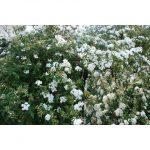 spiraea-cantoniensis-flor-blanca-doble_iz75362964xvzlargexpz1xfz192788792-3285734844-1xsz192788792xim