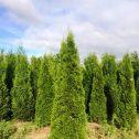thuja-occidentalis-smaragd-jardines-patagonia-meliquina