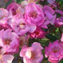 yesterday-floribunda-combinada-jardines-patagonia
