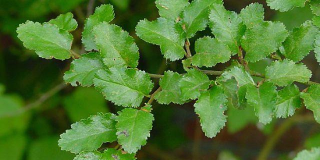 Ñire, un árbol del sur que reduce la contaminación