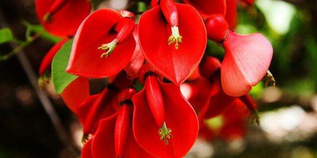 El Ceibo, la flor nacional argentina.