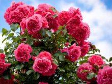 ¿Qué debo hacer para plantar y cuidar mi rosedal?